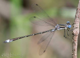 Emerald Spreadwing Lestes dryas