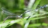 Aurora Damsel Chromagrion conditum