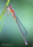 Eastern Forktail Ischnura verticalis immature female