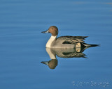 Pintail drake new mexico disc 6 597