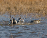 Feeding pintails Bosque del Apache
