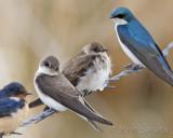 Bank Swallows in center