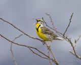 Meadowlark sing his song