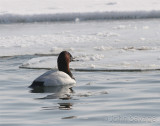 canvasback 11