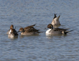 pintails group
