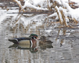 Wood duck pair   Beus Pond wood ducks etc day 2 060