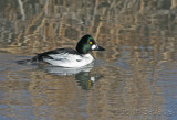 Common Goldeneye   farmington 224