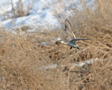 Pintail in flight  farmington 053