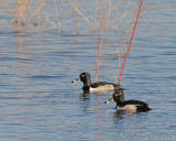 Ring-necked Duck  new mexico disc 1 384