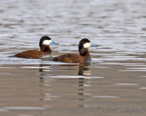 ruddy duck drakes breeding colors