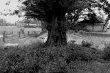 camachile tree