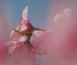 soft-pink-dream.jpg