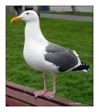 Herring Gull - 1927