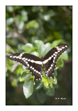 Key West Butterfly - 3644