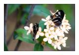 Butterfly - 3730