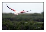 Flamant rose au décollage - 9154