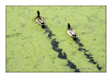 Canards à Aigues-Mortes - 8609