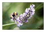 Honeybee Lavande - 0406
