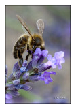 Honeybee Abeille - 0482