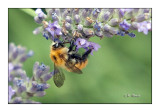 Honeybee Abeille - 0564