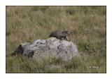 Marmotte - 3905