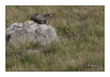 Marmotte - 3906