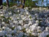 White azalees