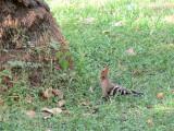 A Hoopoe bird