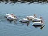 Great American White Pelicans