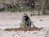 Baboon Looking for Seeds in Elephant Dung