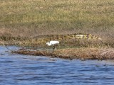 Little Egret and Friend