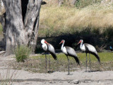 Waddled Cranes