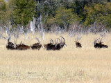A Herd of Sable