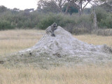 Baboon and Termite Mound
