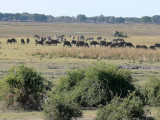 Cape Buffalo and Zebra