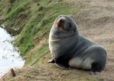 A Seal Colony Up Close and Personal Off the Coast of the Otago Peninsula
