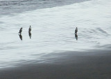 Yellow-eyed Penguins Coming Ashore After a Day of Fishing