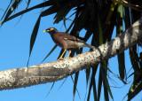 A Mynah Bird