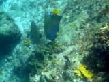 Queen Angelfish ?
