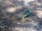 The Iguanas of the Turks & Caicos are about 1/3 the size of those in the Galapagos Islands
