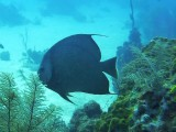 Gray Angelfish ?