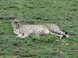 This is believed to be the oldest female cheetah in the park