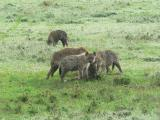 A Hyena pack at a young wildebeest kill