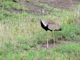 Kori Bustard (the largest flying bird - up to 42 lbs.)