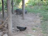 chickens and pigs