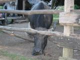 I think this is a water buffalo