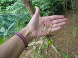 chili bush