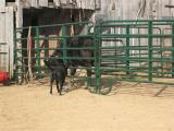 Casey being nosey at the barn