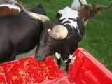 cows eating feed off the back of the truck  (which they were in the hay field and should not have been)