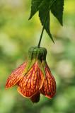La Vispera Flower